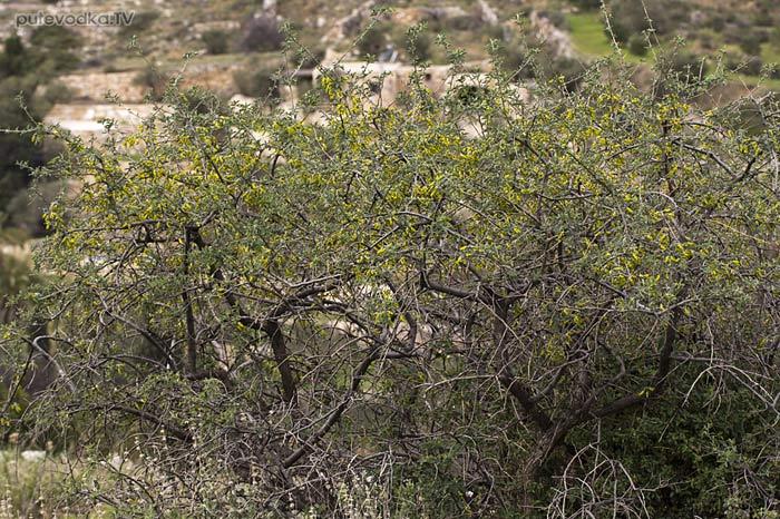 Анагирис зловонный (Anagyris foetida)