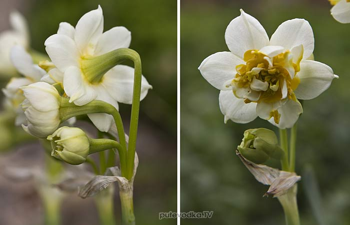 Нарцисс (Narcissus)