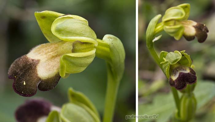 Офрис (Ophrys sitiaca)