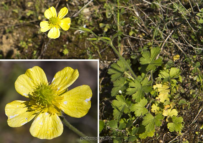 Лютик критский (Ranunculus creticus)