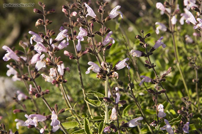 Шалфей кустарниковый (Salvia fruticosa)