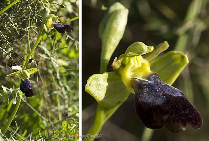 Офрис бурый радужноцветный (Ophrys fusca ssp. iricolor)
