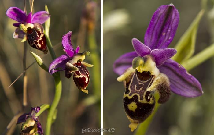 Офрис оводоносная (Ophrys oestrifera)