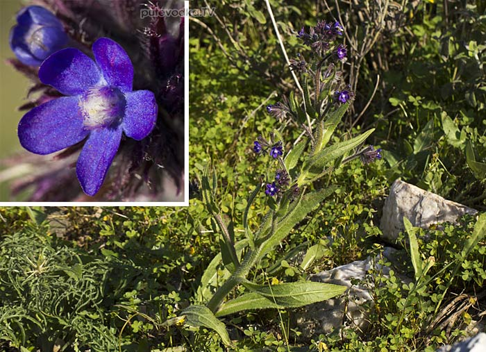 Воловик лазоревый (Anchusa azurea)