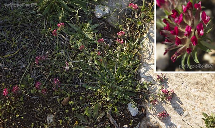 Anthyllis vulneraria ssp. rubriflora