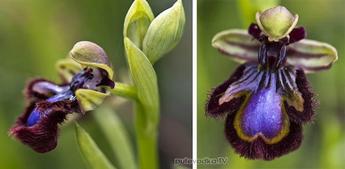 Офрис зеркальная (Ophrys speculum)