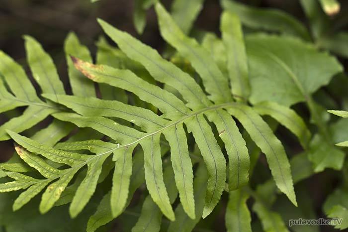Многоножка (Polypodium)