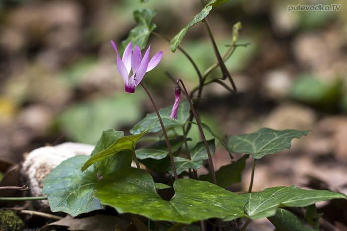 Цикламен выемчатый (Cyclamen repandum ssp. peloponnesiacum)