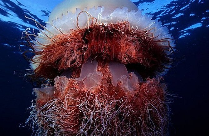 Путеводка. Медузы: красота и стрём.