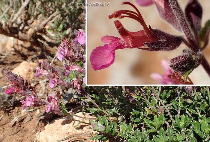 Дубровник растопыренный (Teucrium divaricatum)