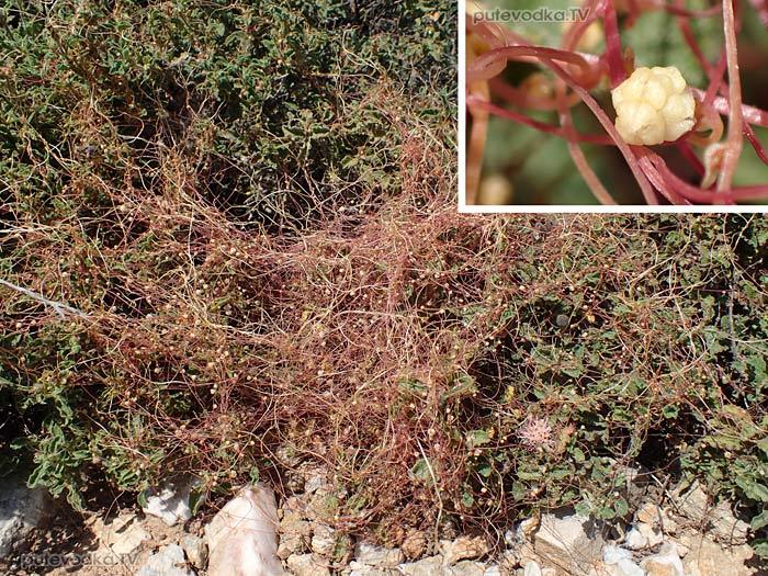 Повилика палестинская (Cuscuta palaestina)