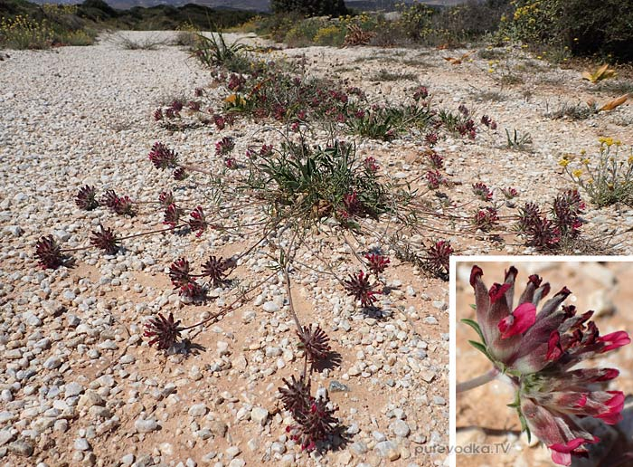 Язвенник красноцветковый (Anthyllis vulneraria ssp. rubriflora)