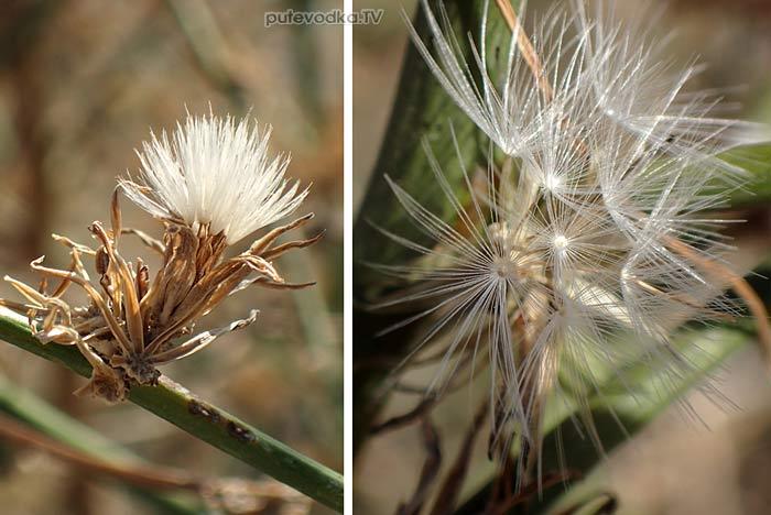 Хондрилла ситниковая (Chondrilla juncea)