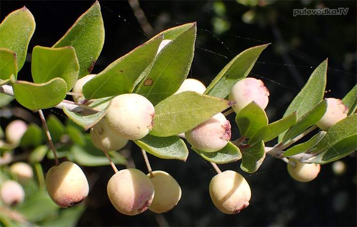 Мирт обыкновенный белоплодный (Myrtus communis var. leucocarpa)