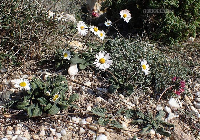Маргаритка лесная (Bellis sylvestris)