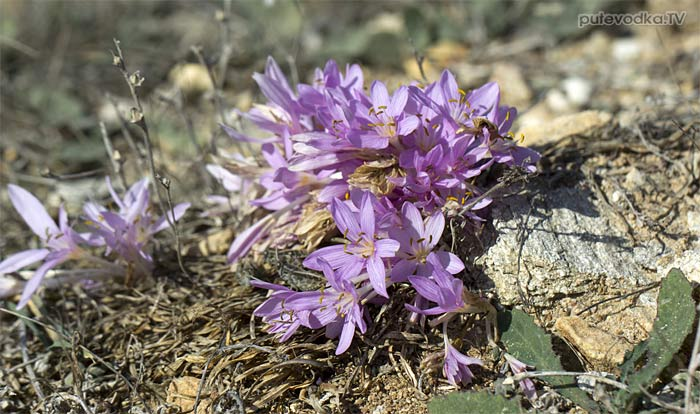 Безвременник (Colchicum)