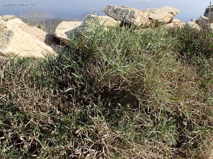 Василёк колючий (Centaurea spinosa)