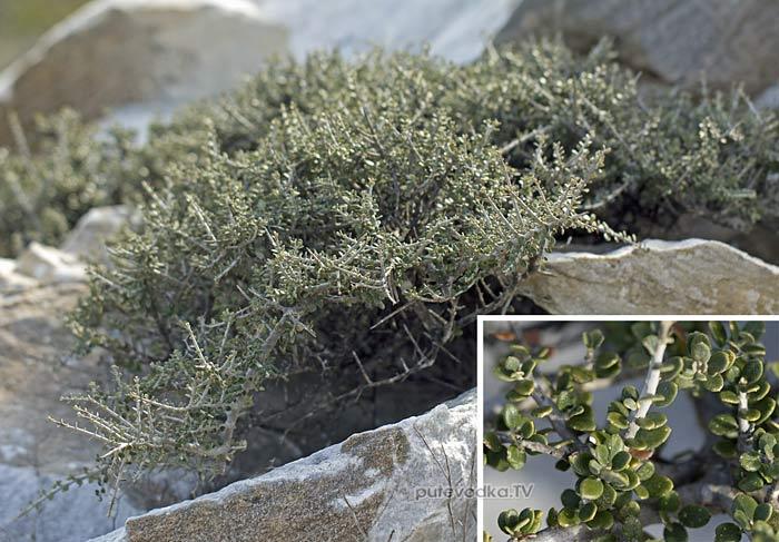 Маслина лесная (Olea europaea var. sylvestris)