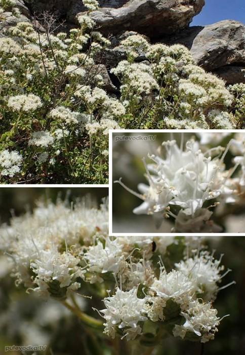 Майоран критский или Душица критская (Origanum onites)
