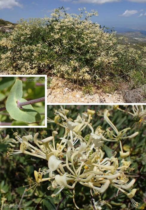 Жимолость этрусская (Lonicera etrusca)