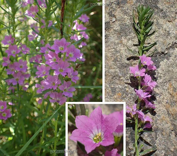 Дербенник ситниковый (Lythrum junceum)