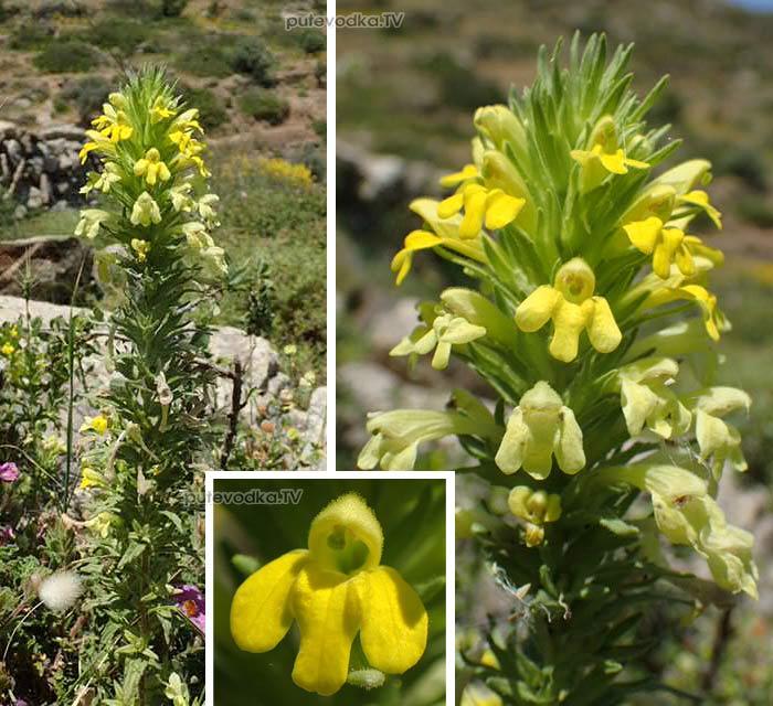 Парентучеллия клейкая (Parentucellia viscosa)