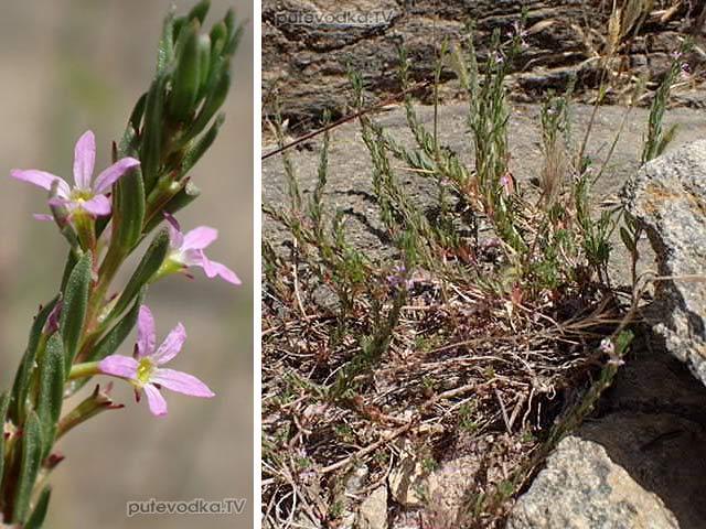 Дербенник иссополистный (Lythrum hyssopifolia)
