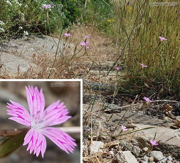 Гвоздика трёхточечная (Dianthus tripunctatus)