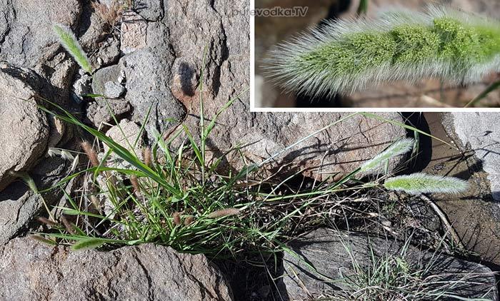 Многобородник монпельенский (Polypogon monspeliensis)