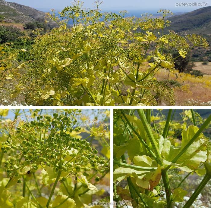 Смирния критская (Smyrnium creticum)
