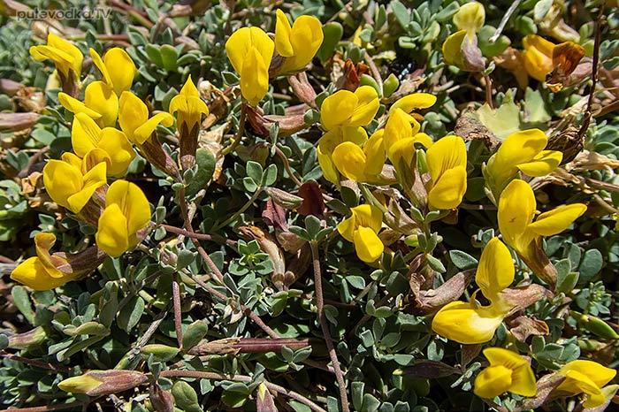 Lotus halophilus