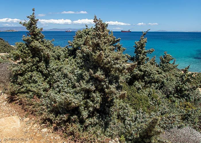 Juniperus oxycedrus ssp. macrocarpa