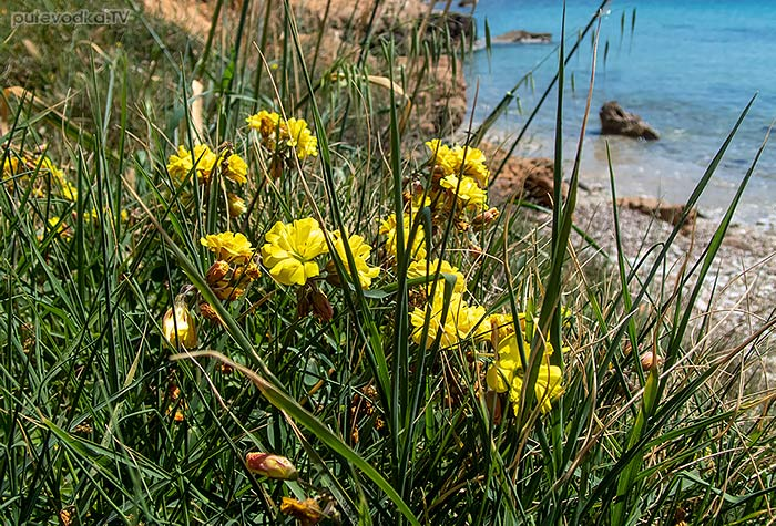 Oxalis pes-caprae f. pleniflora